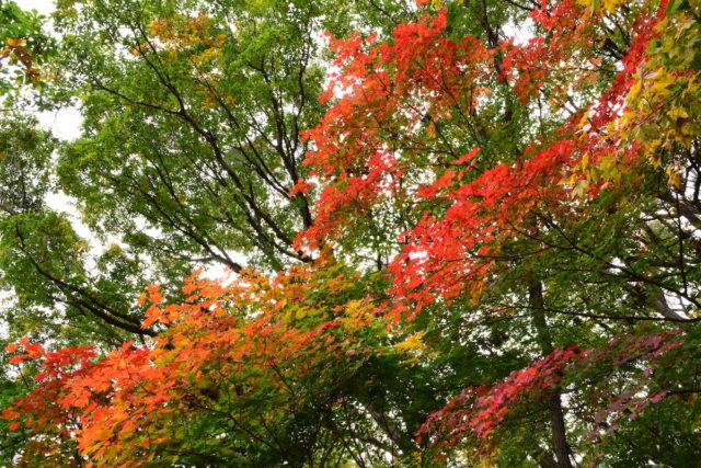 10月半ば、札幌の紅葉(撮影:ルチアナ)