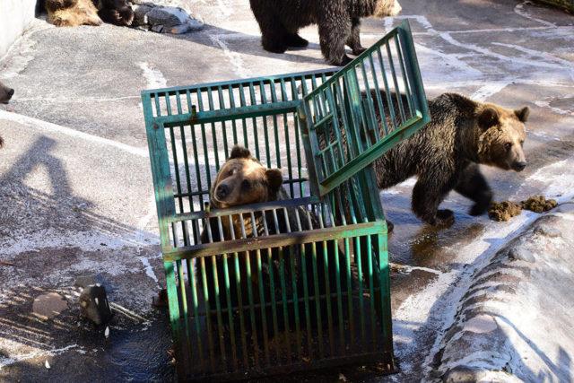 自ら檻に入るクマ 撮影:ルチアナ