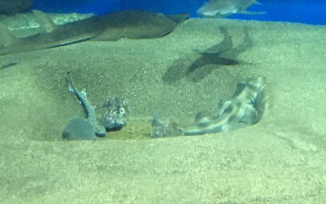 穴の縁に顎を乗せて休むシマネコザメ(右) その姿は完全にネコである(アクアワールド茨城県大洗水族館/茨城県)
