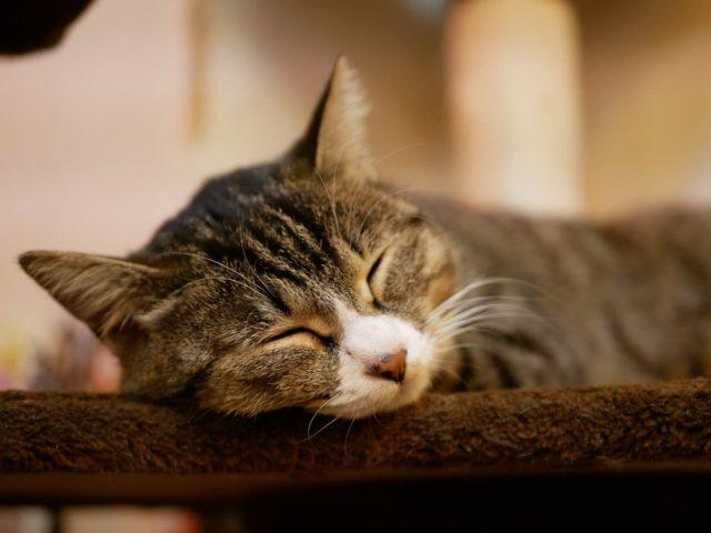 キャットタワーの縁に顎を乗せて休むネコ その姿は完全にネコである(保護猫カフェMiagolare/東京都)